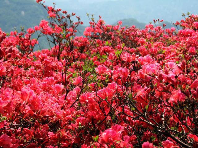台湾杜鹃花